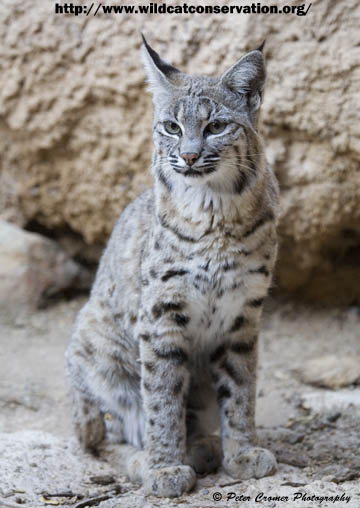Bobcat International Society For Endangered Cats