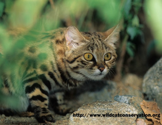 Black Footed cat, Felis nigripes