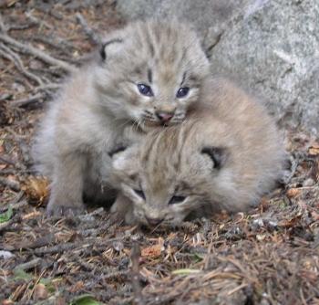 Lynx Make A Comeback In Colorado (3/3)