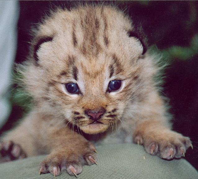 Lynx Make A Comeback In Colorado (1/3)