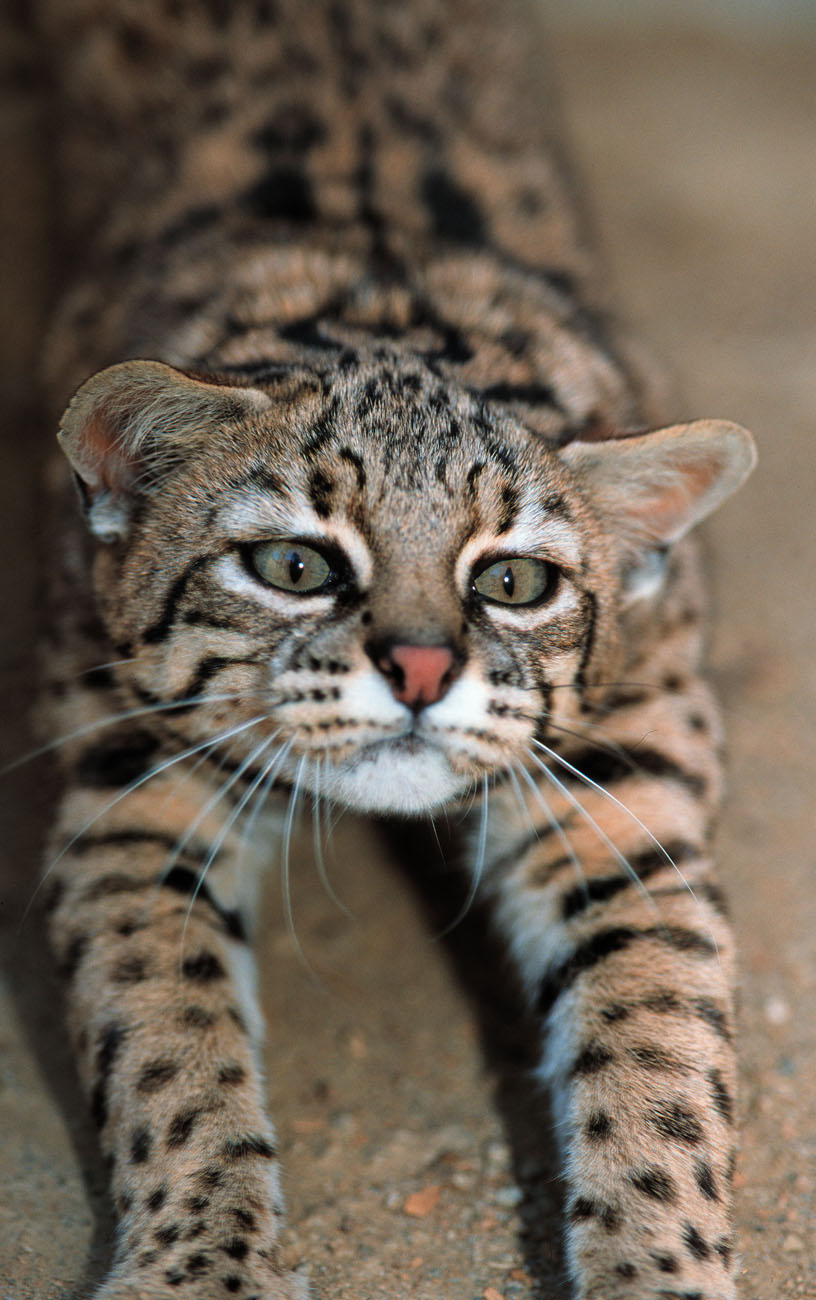 Geoffroy S Cat Cats