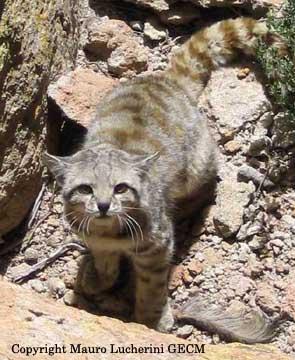 Featured Feline: Andean (Mountain) Cat