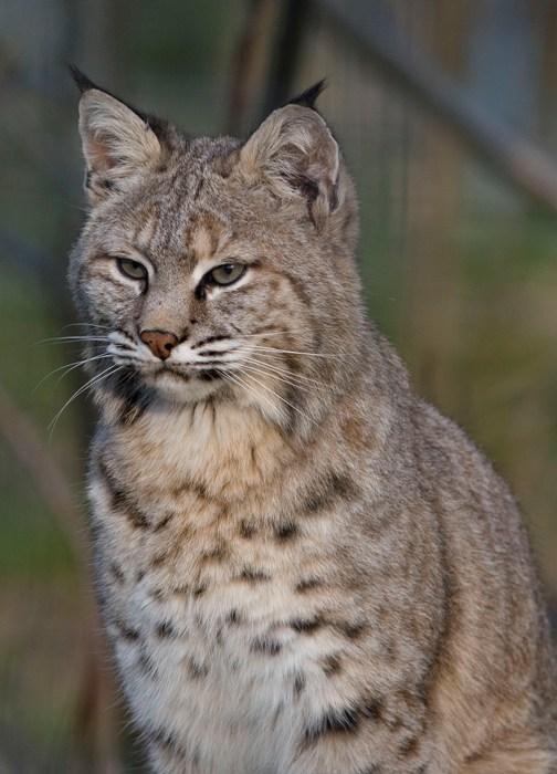 Featured Feline: Bobcat