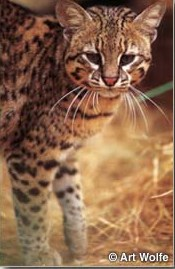 Are Geoffroy S Cat Endangered