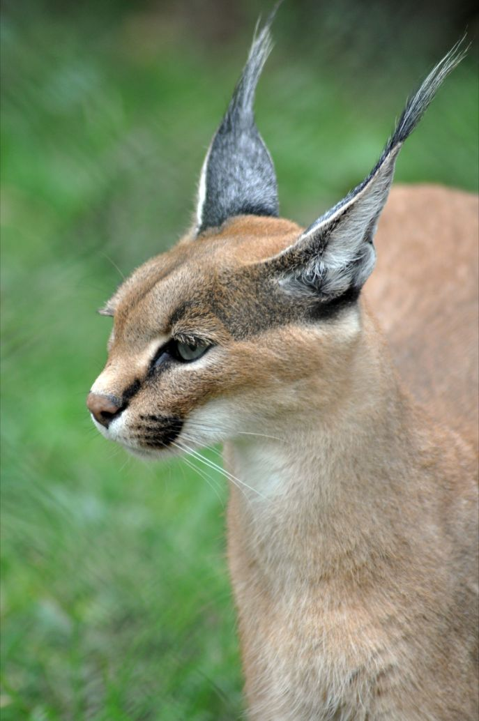 https://felids.files.wordpress.com/2011/10/caracal-1.jpg?w=687