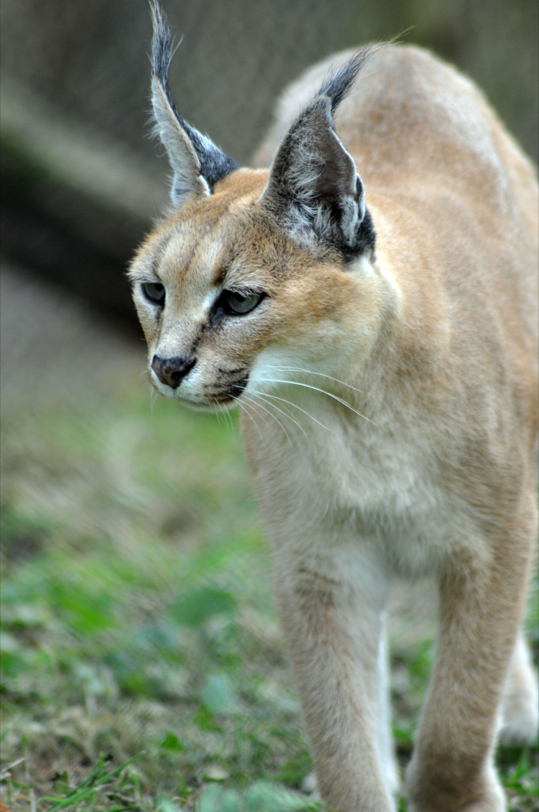 caracal | International Society For Endangered Cats