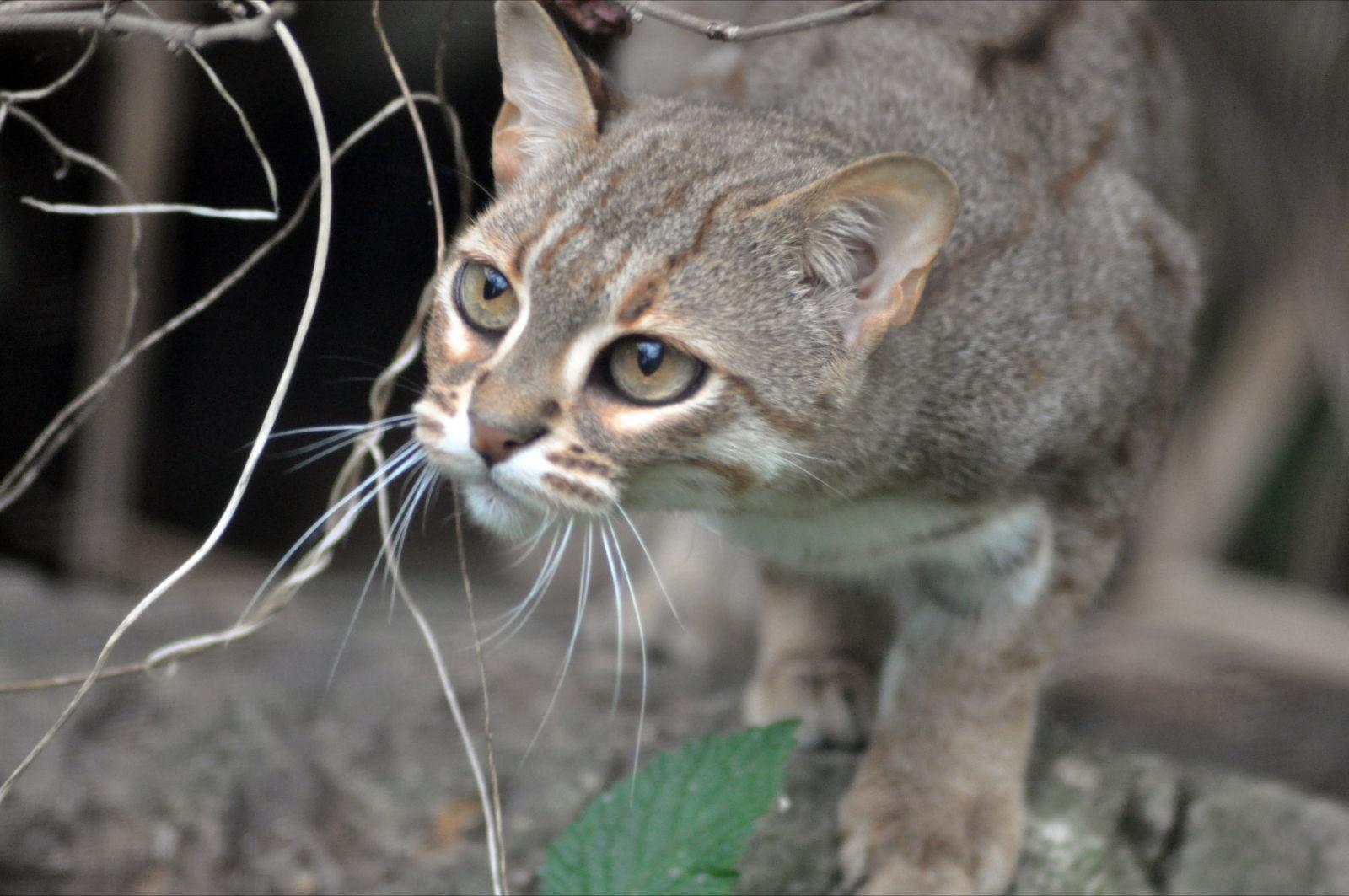 lifespan of a himalayan cat