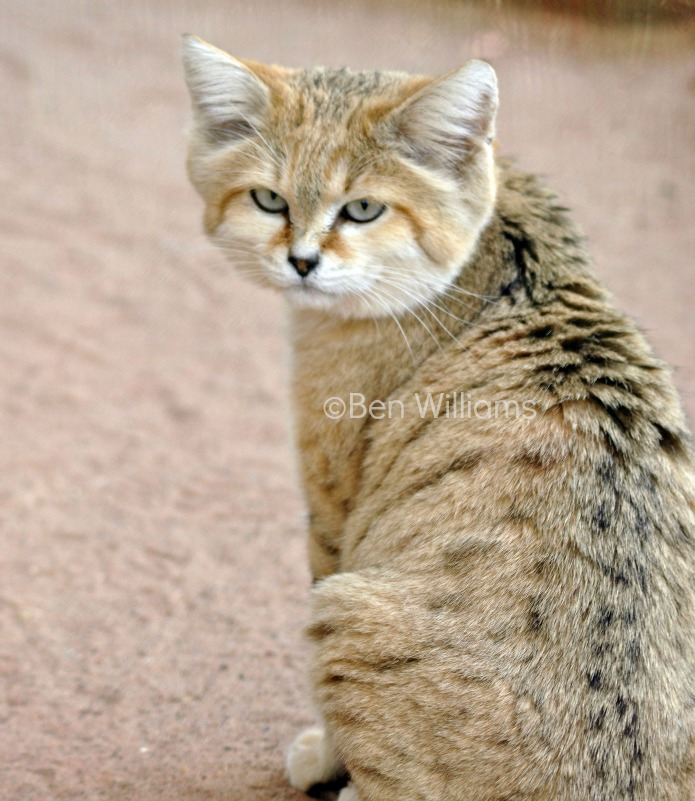 herpes cats treatment
