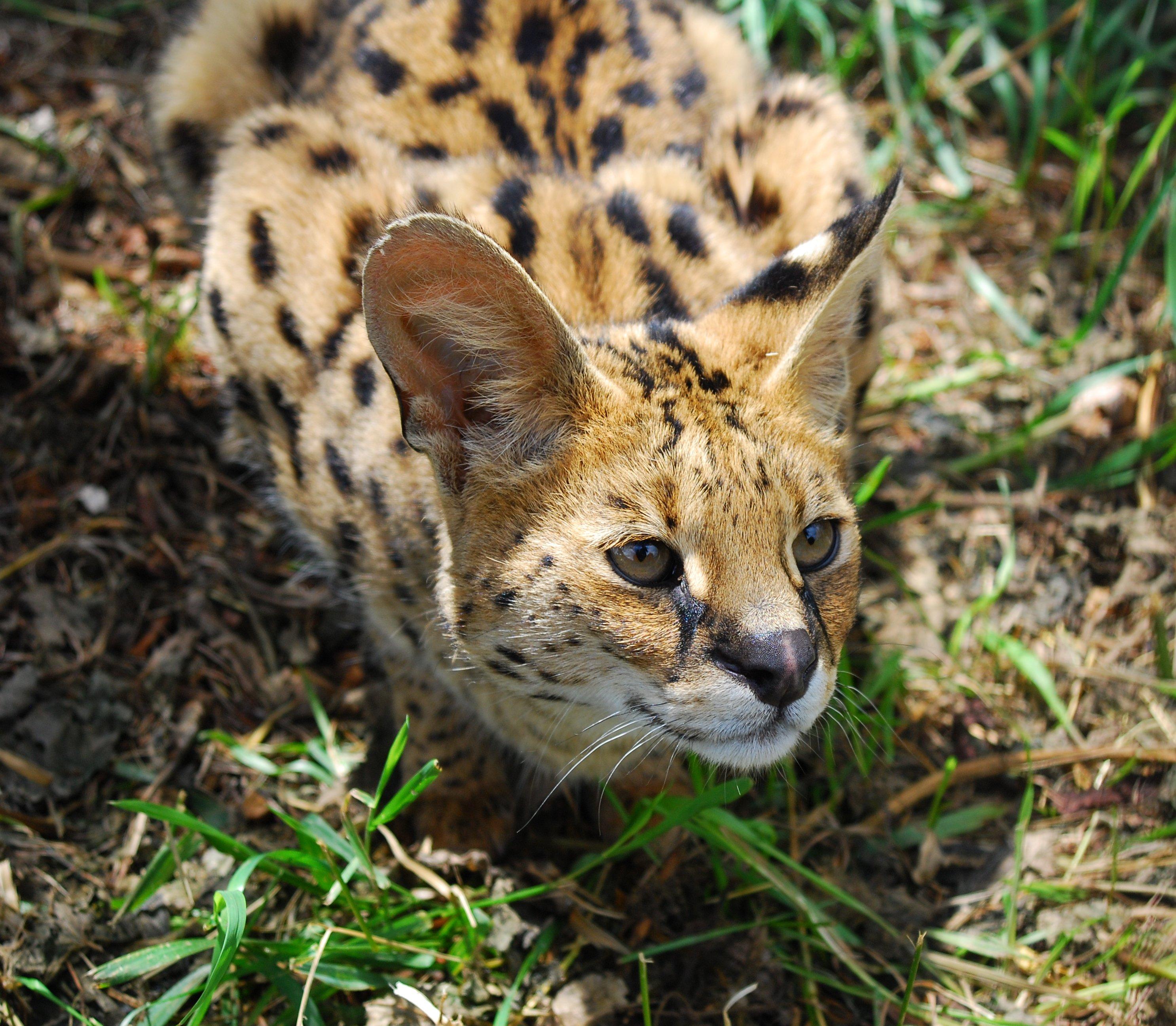 Caracal Cat Stuffed Animal