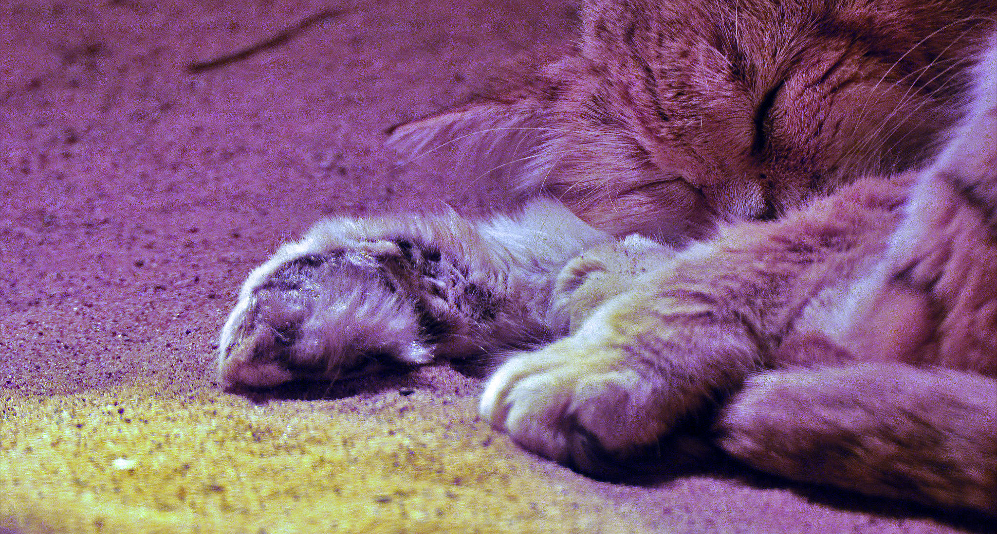 cat paw adaptations | International Society For Endangered Cats