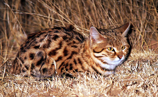 Adult Black Footed Cat