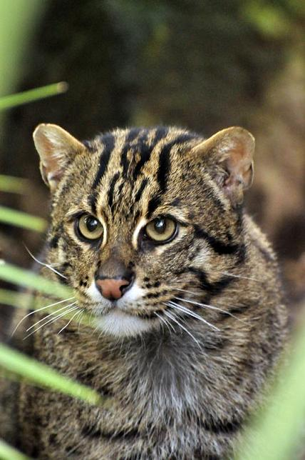 International society for endangered cats a voice for for The fishing cat
