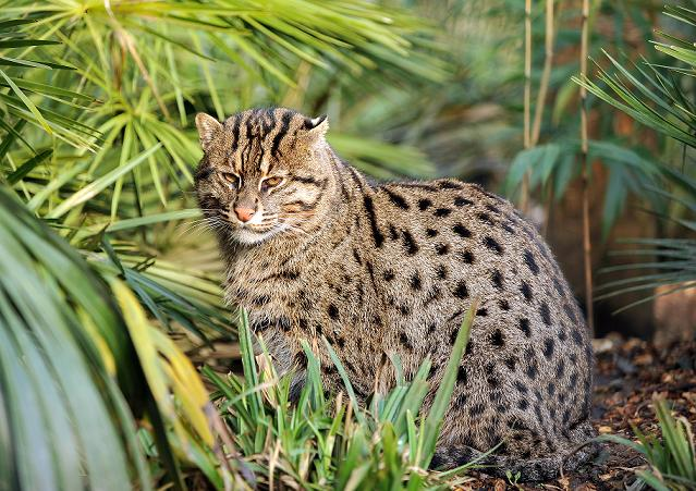 African Fishing Cat Visiting The Fishing Cats