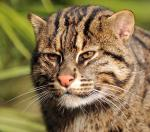 fishing cat ultra crop