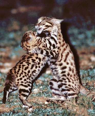 Black Footed Cat Working Group International Society For