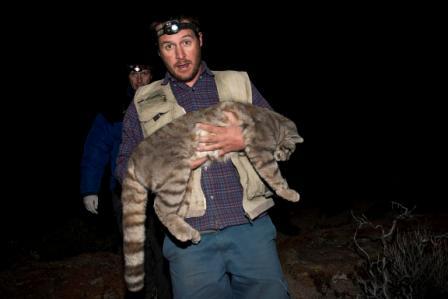 Andean cat leopardus jacobita