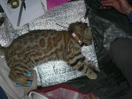 pampas cat leopardus colocolo