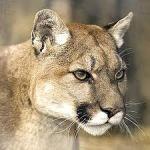 Cougar Puma concolor