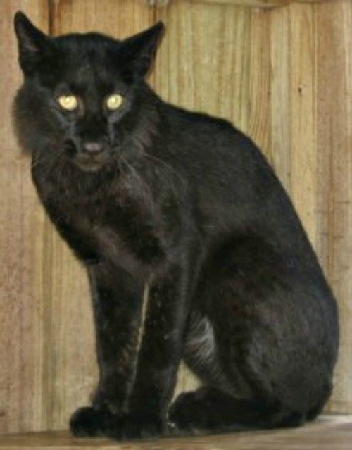 Black Wild Cat Looks Like Housecat