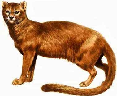 Dog And Cat Common Ancestor