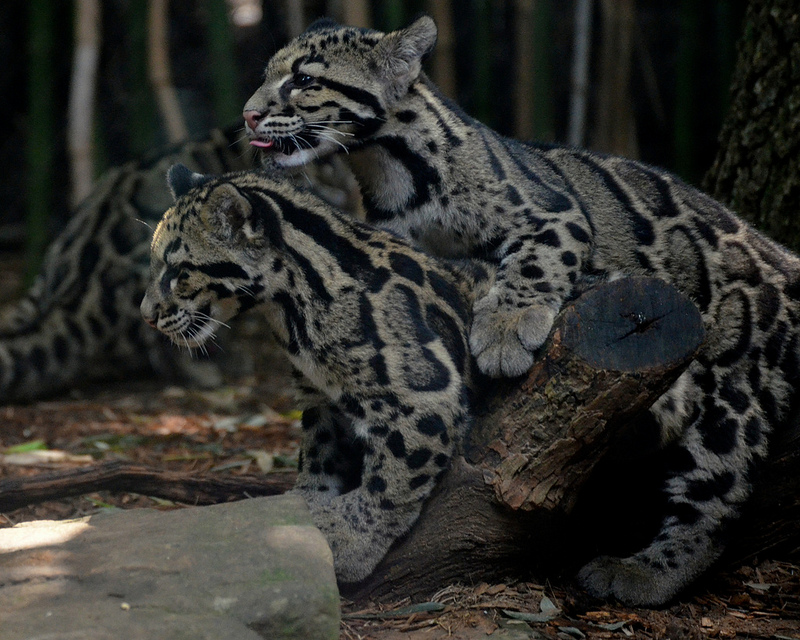 clouded leopard international society for endangered cats