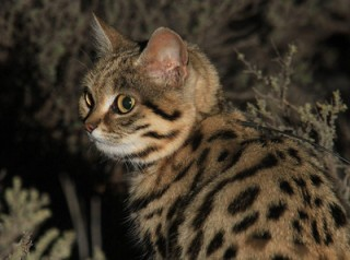 black-footed cat by A. Sliwa