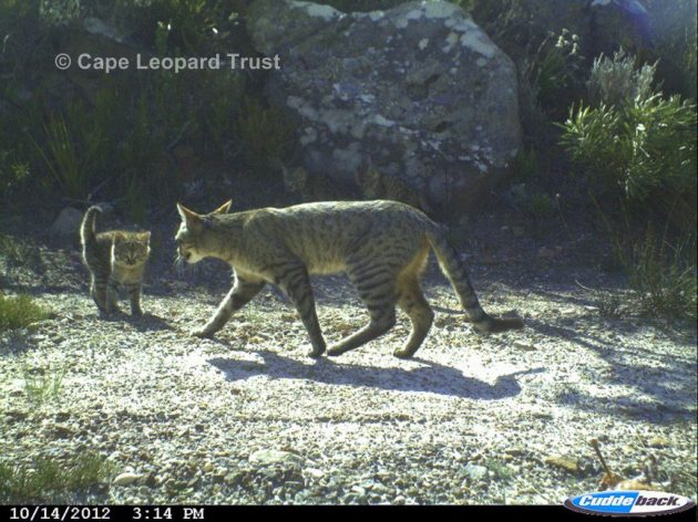 african wildcats Cape Leopard Trust