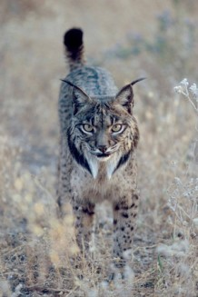 Lynx in short grass